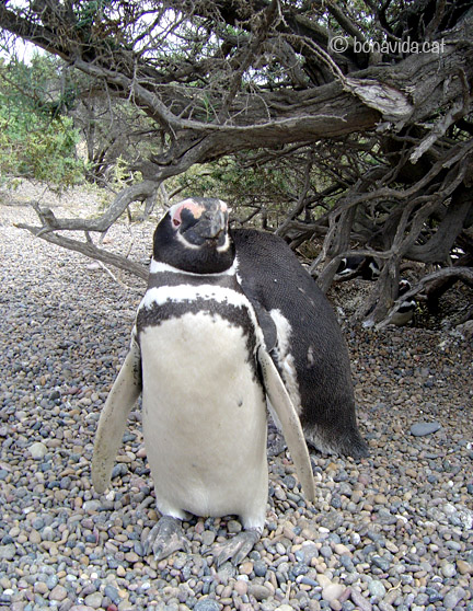 argentina pinguins 02