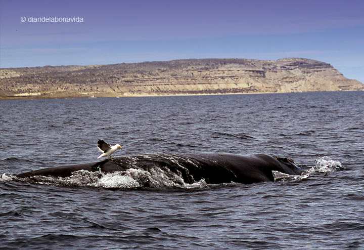 whale_argentina_1
