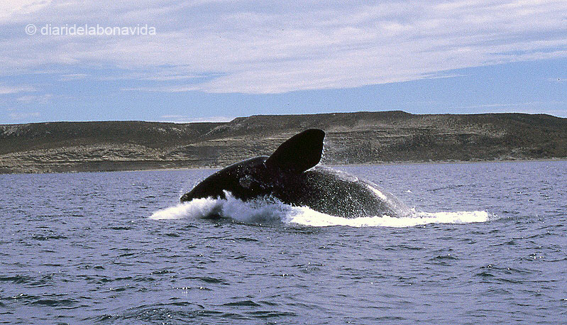 whale_argentina_2