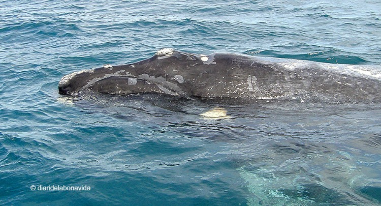whale_argentina_5