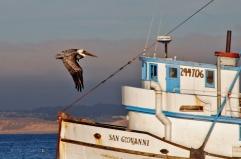 Pelicà al port de la ciutat de Monterey, Estats Units.
