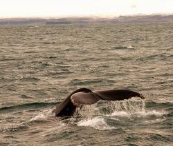 Balenes a Husavík