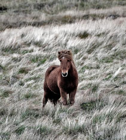 islandia cavalls 15