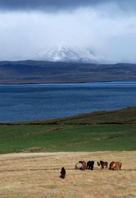 islandia cavalls 16