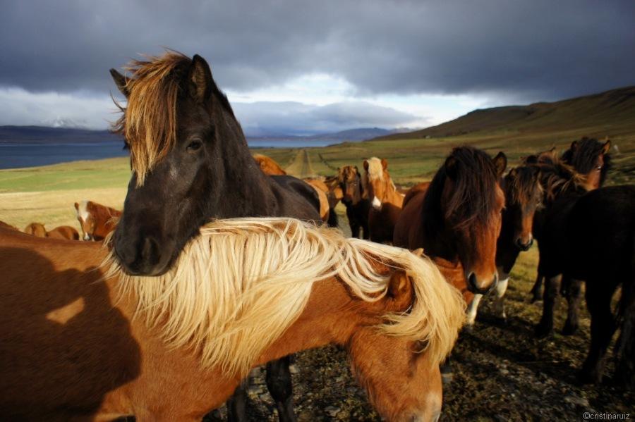 islandia cavalls 17