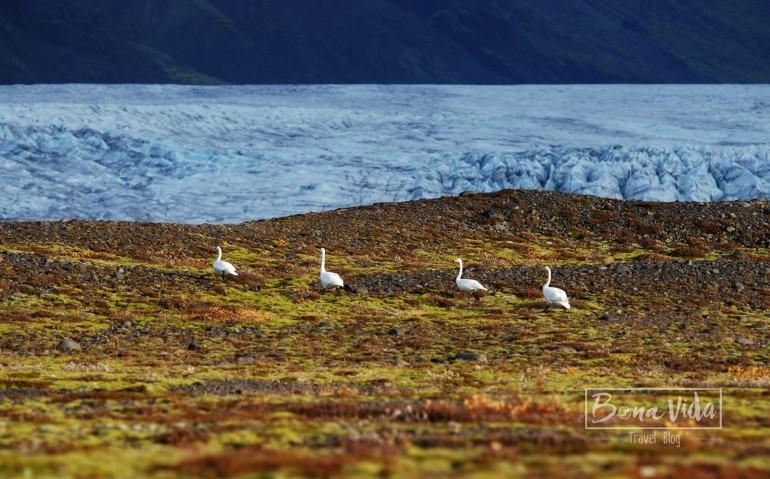 Glaciar Svínafellsjökull. Parc Nacional de Vatnajökull