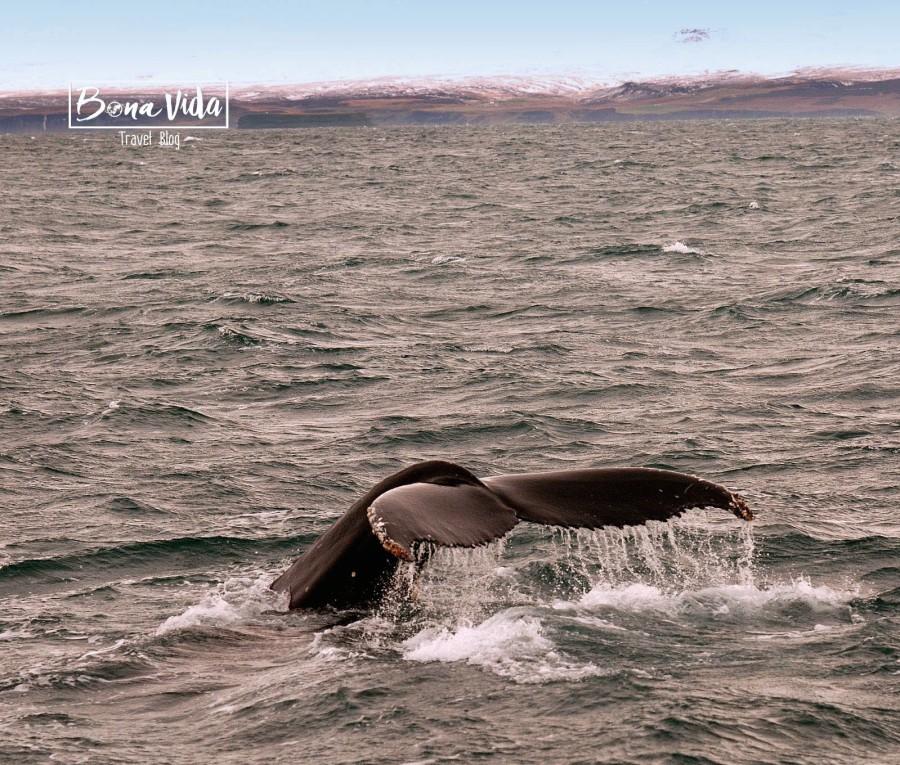 islandia balenes husavik