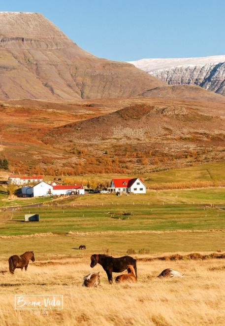 islandia cavalls-1