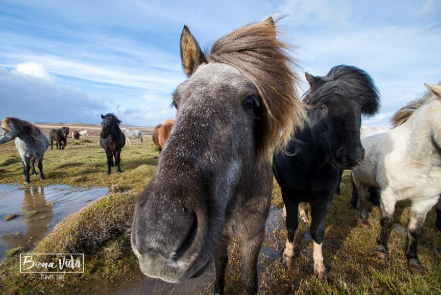 islandia cavalls-10