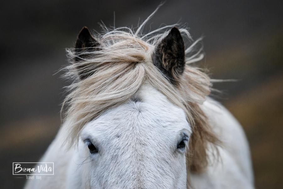 islandia cavalls-12