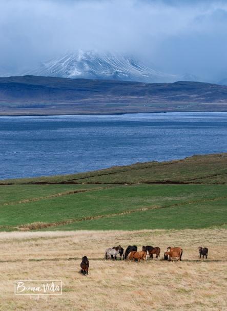islandia cavalls-14