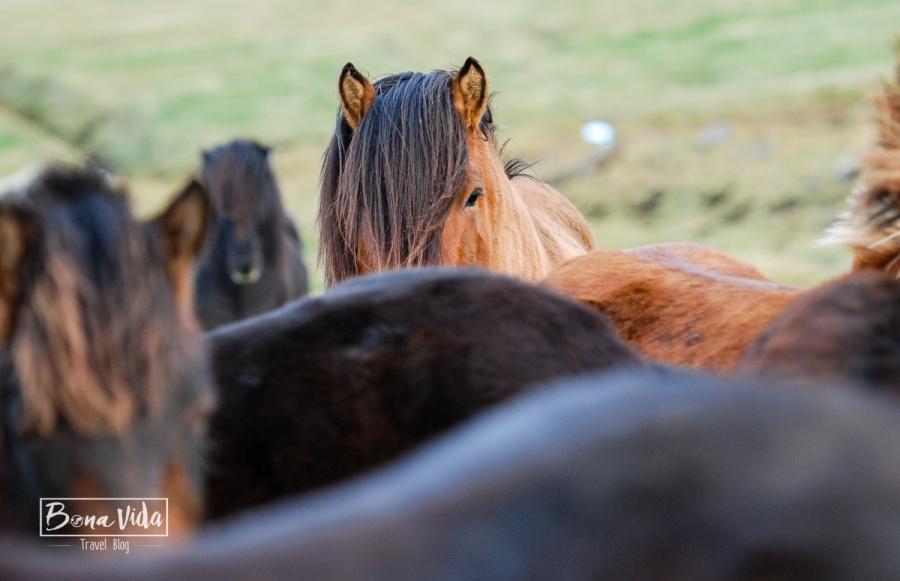 islandia cavalls-16