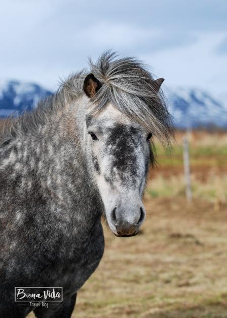 islandia cavalls-3