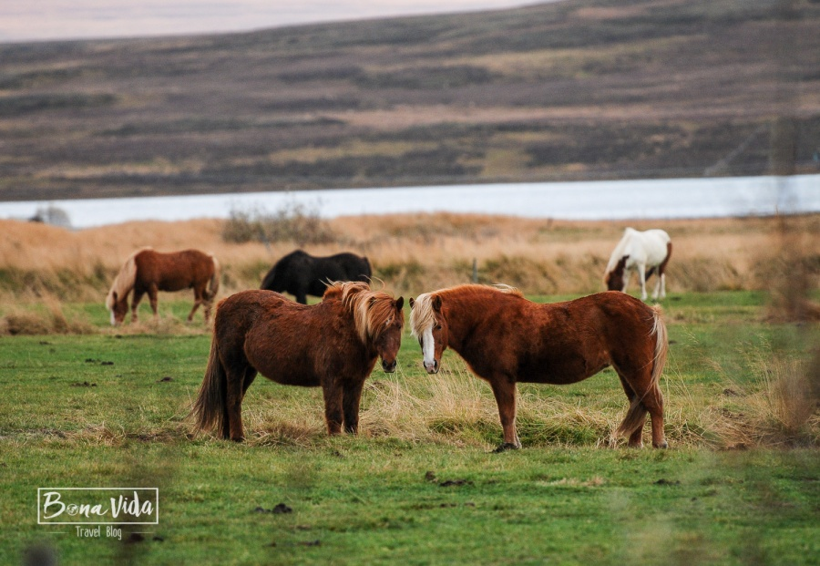 Cavalls a l'hotel-granja Gauksmyri