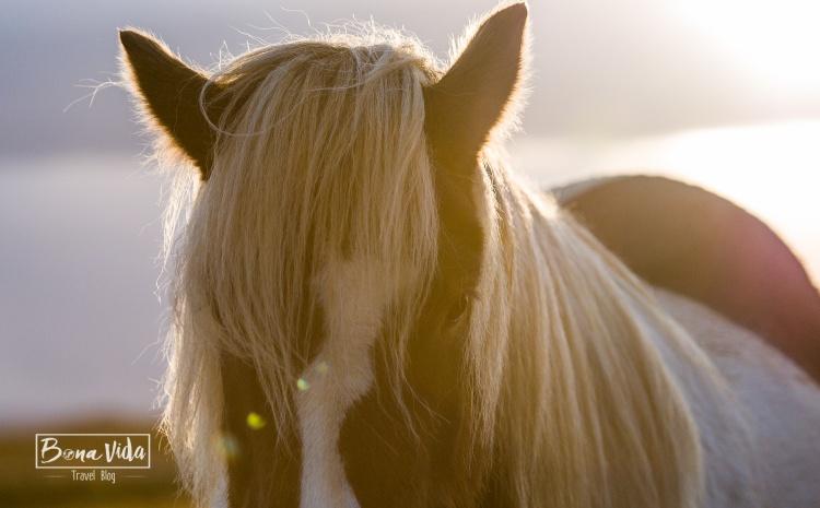 islandia cavalls-6