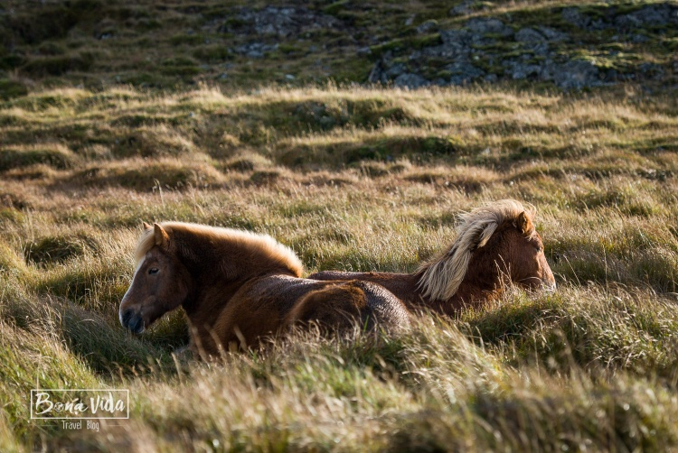 islandia cavalls-7