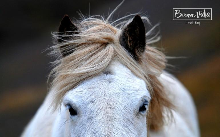 islandia cavalls