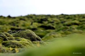 molsa sobre roques volcàniques