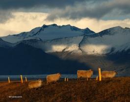 ovelles islandeses