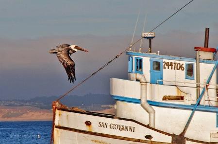 pelicano_monterey_01