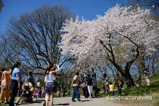 Tothom vol fotografiar els cirerers florits