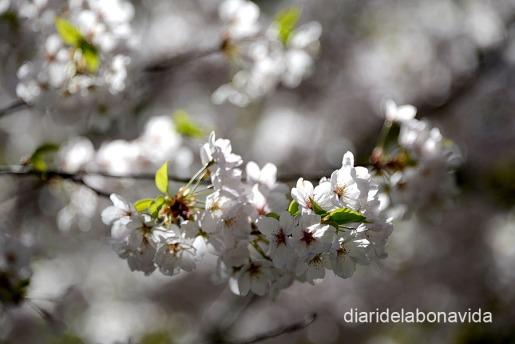 Els cirerers són plens de flors