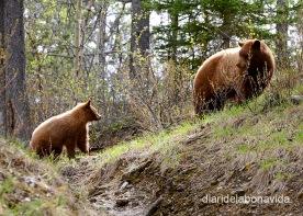 Ens topem amb un ós Grizzly i la seva criaa les Rocalloses de Canadà