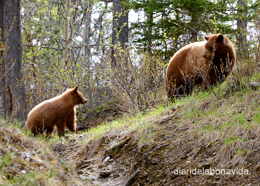 canada3833_bears