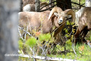 Els Bighorn Sheep fan por...