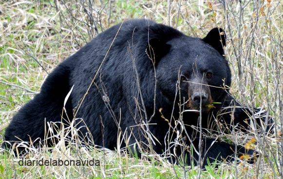 Un ós negre menjant tranquil·lament