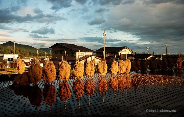 Camps d'arròs a Hiraizumi, Japó