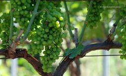El raïm i el vi són típics de Sicília