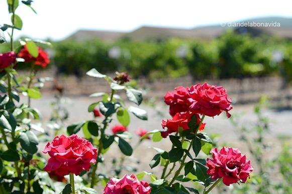 Els rosers continuen sent el millor sistema per esbrinar si alguna plaga afecta les vinyes