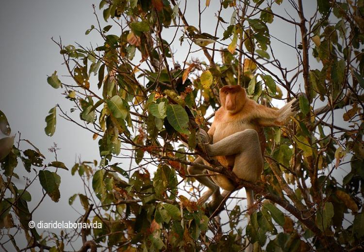 Els micos nariguts ens observen des dels arbres