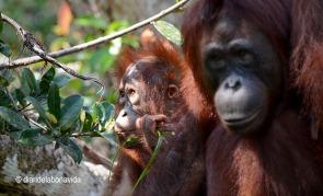 indonesia_tour orangutans