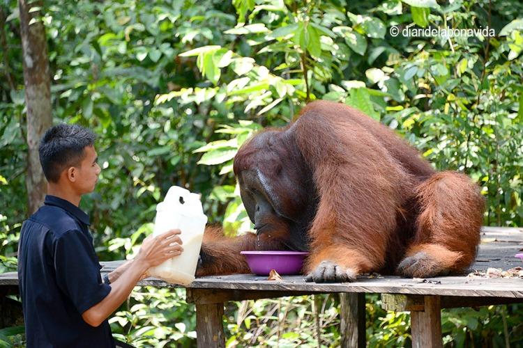 indonesia_tour orangutan comida