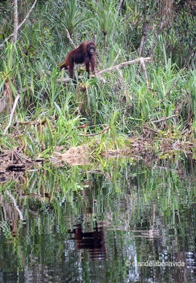 Sha d'estar atent, en qualsevol moment trobem un gran exemplar d'orangutan