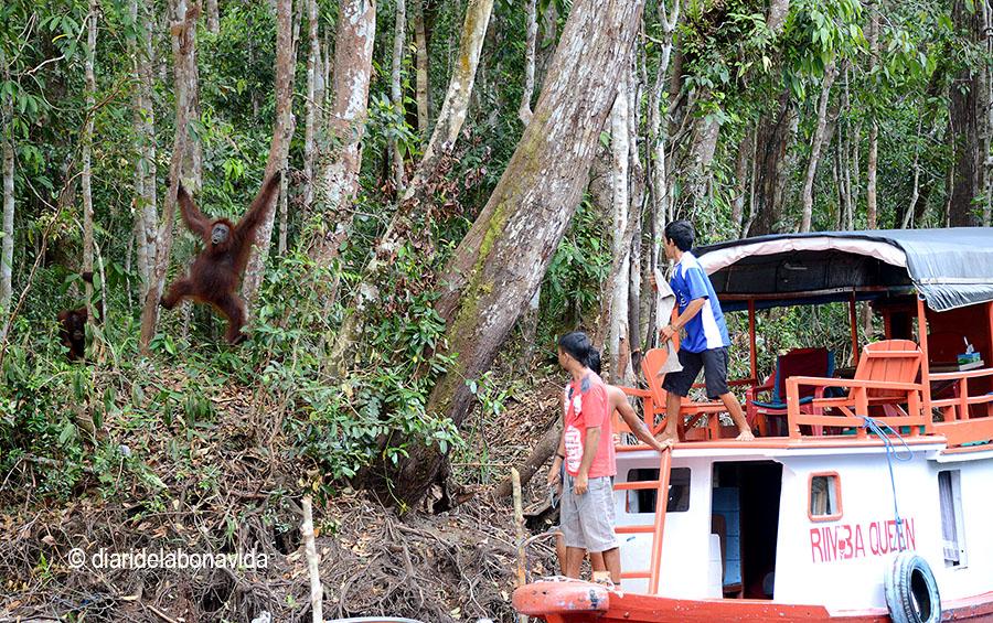 Alguns orangutans no dubtaven a baixar dels arbres i apropar-se al vaixell