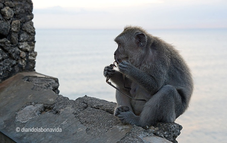 indonesia_monkey glasses