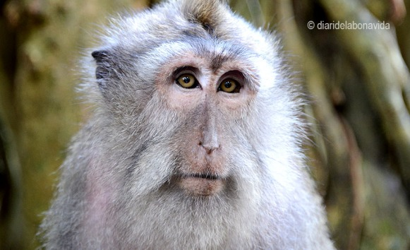 A Ubud, illa de Bali, els micos són els reis de la zona