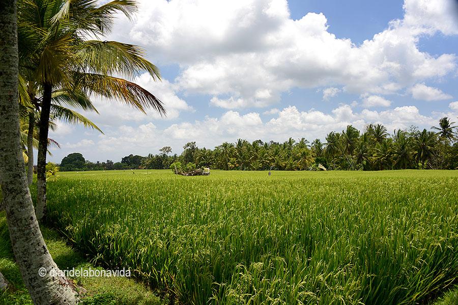 No cal allunyar-se molt per passejar entre verds camps d'arròs