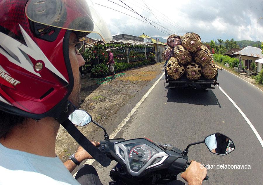 Circulant per les carreteres, darrera un camió de porcs