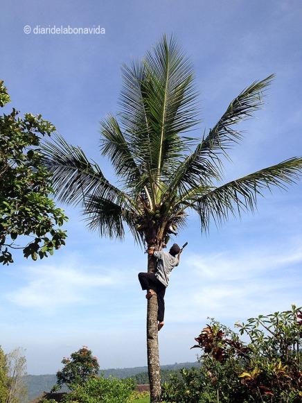 indonesia_munduk escalador palmera