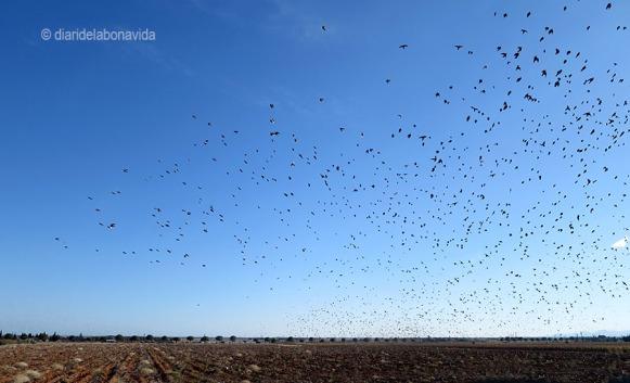 Pel camí ens trobem amb autèntics núvols d'estornells, uns ocells que s'agrupen en milers d'exemplars.