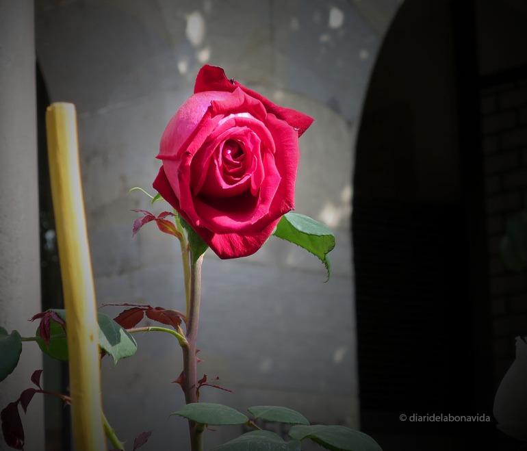 santjordi_2014_rosa
