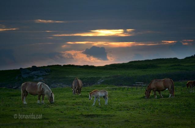 Cavalls pasturant al capvespre a Pointe de Garniche