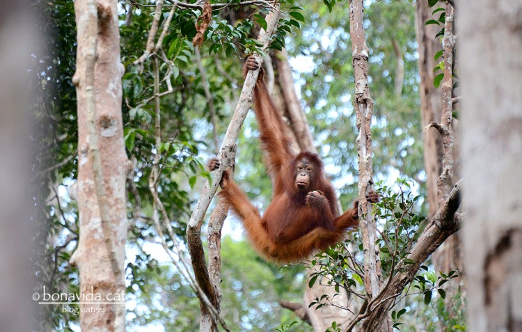 indonesia orangutans 05