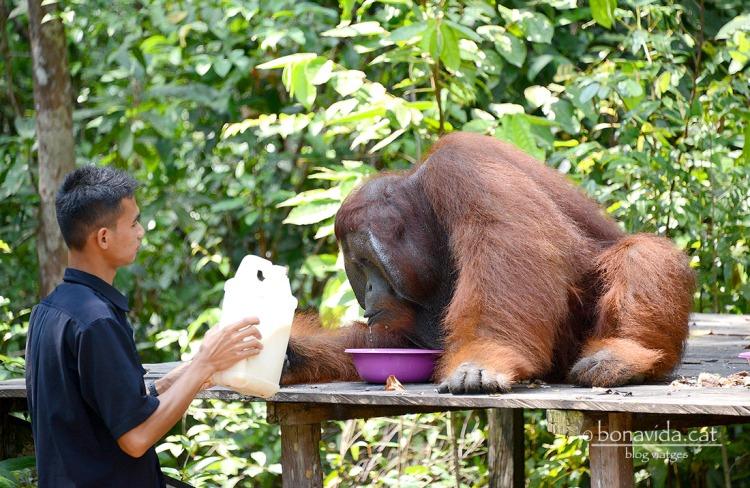 indonesia orangutans 06