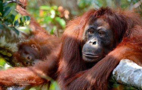 indonesia orangutans 10