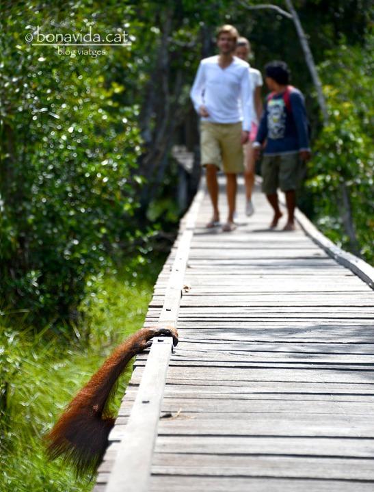 Els orangutans sovint busquen l'ombra de les passarel·les
